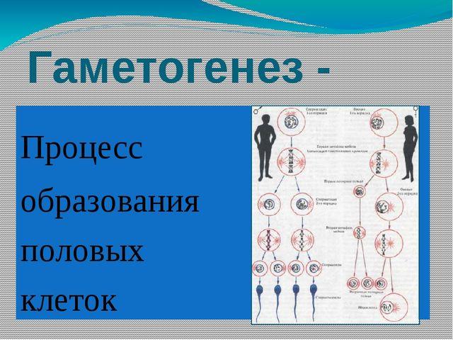 Гаметогенез - Процесс образования половых клеток