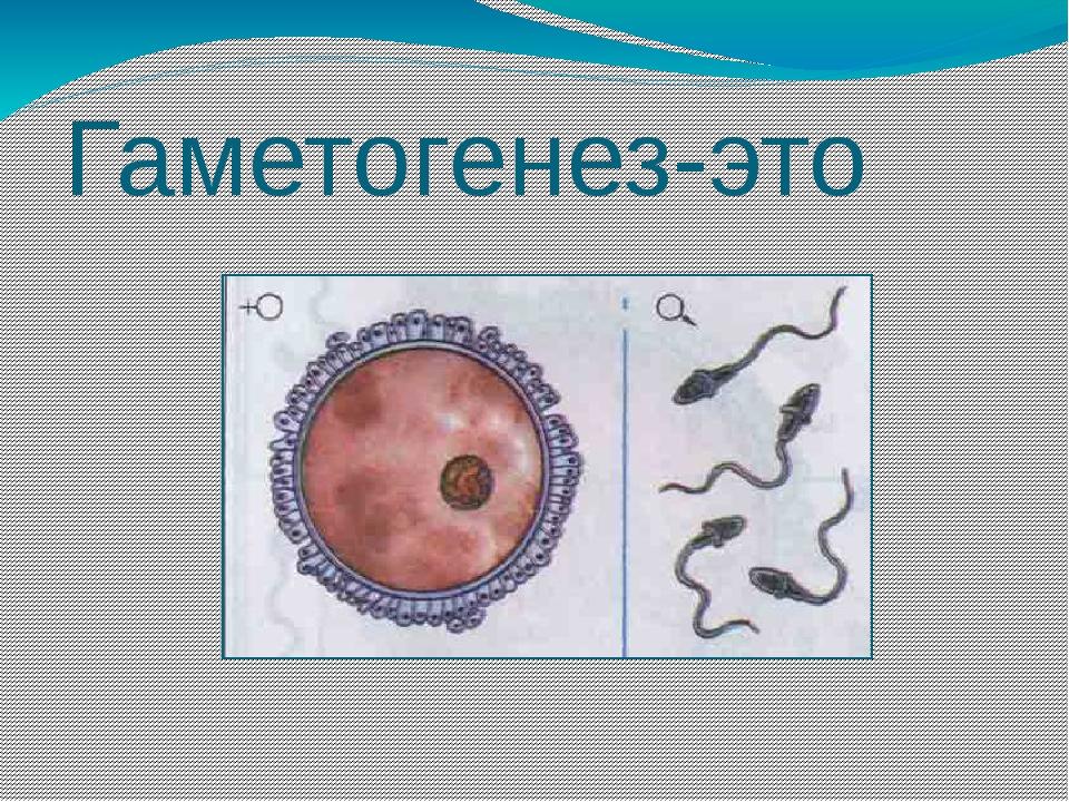 Гаметогенез-это