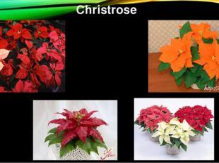 Christrose