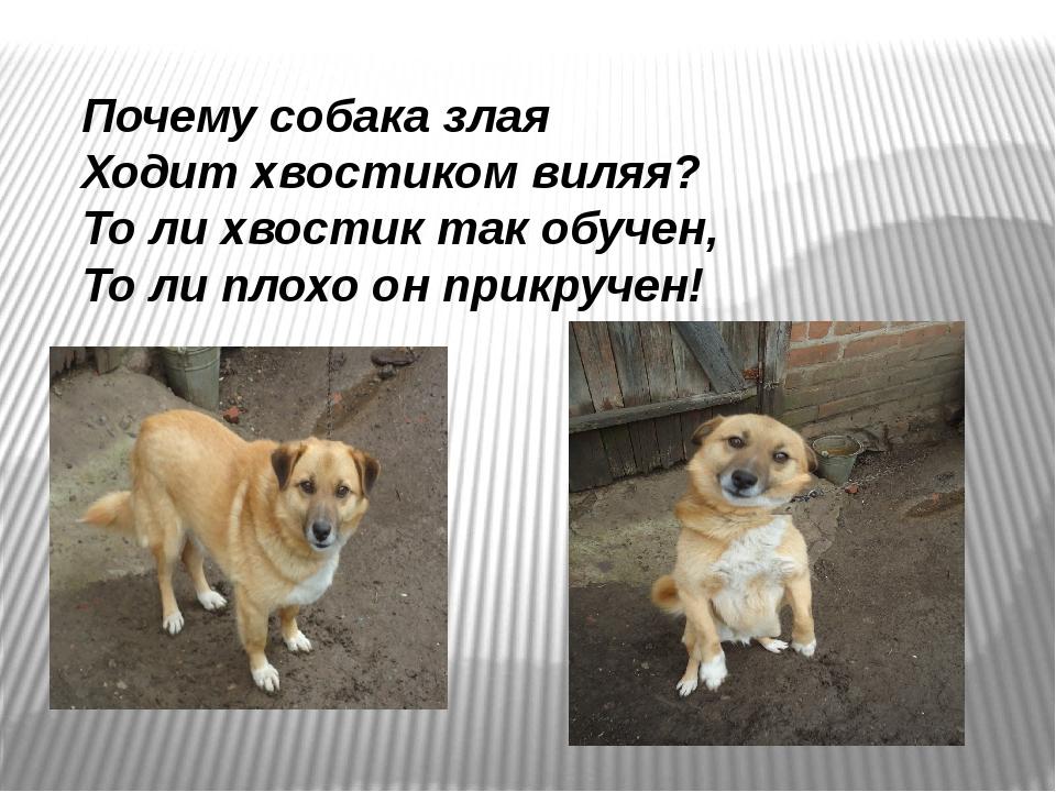 Почему собака злая Ходит хвостиком виляя? То ли хвостик так обучен, То ли пло...