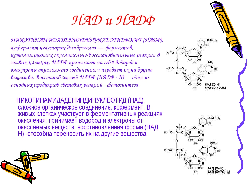 НАД и НАДФ НИКОТИНАМИДАДЕНИНДИНУКЛЕОТИД (НАД), сложное органическое соединени...