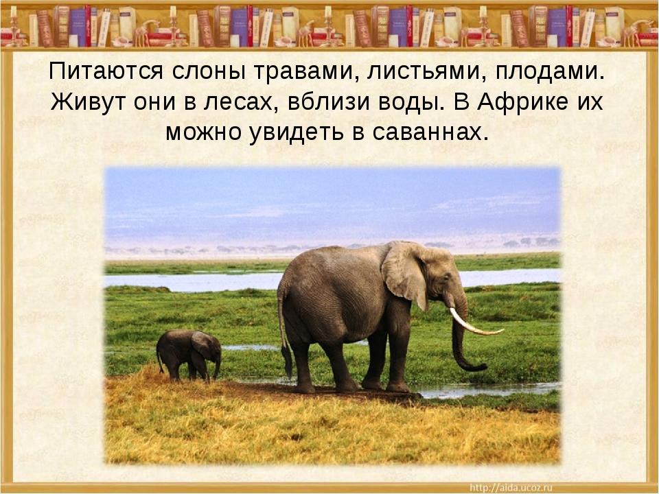 Питаются слоны травами, листьями, плодами. Живут они в лесах, вблизи воды. В...