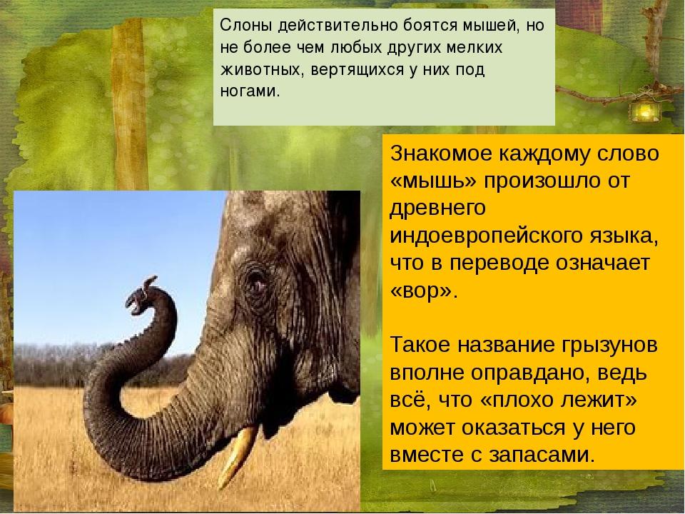 Слоны действительно боятся мышей, но не более чем любых других мелких животны...