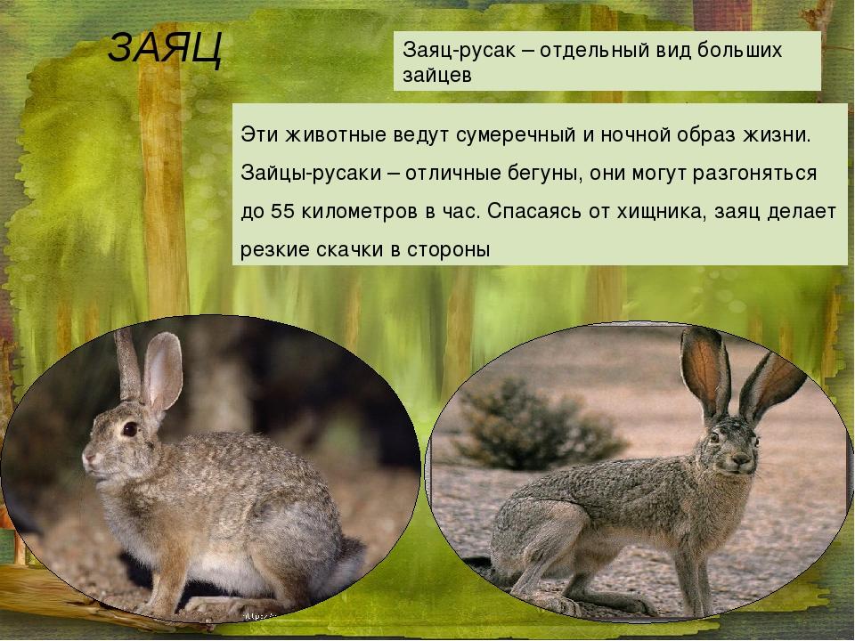 ЗАЯЦ Заяц-русак – отдельный вид больших зайцев Эти животные ведут сумеречный...
