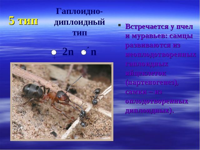 5 тип Встречается у пчел и муравьев: самцы развиваются из неоплодотворенных г...