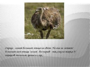 """Страус - самая большая птица на свете. Но она не летает! Длинная шея птицы """"г"""