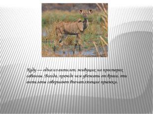 Куду — одна из антилоп, живущих на просторах саванны. Всегда, прежде чем убеж