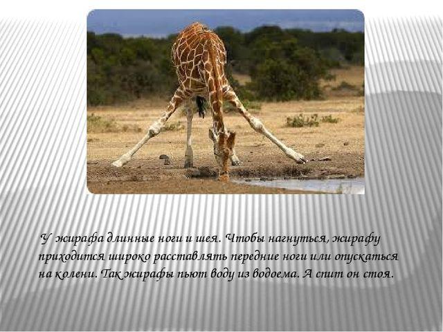 У жирафа длинные ноги и шея. Чтобы нагнуться, жирафу приходится широко расст...