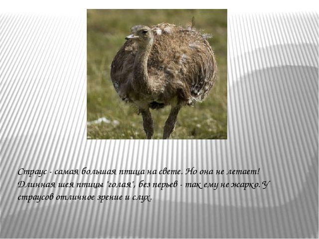 """Страус - самая большая птица на свете. Но она не летает! Длинная шея птицы """"г..."""