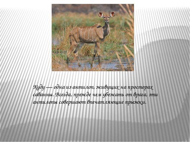 Куду — одна из антилоп, живущих на просторах саванны. Всегда, прежде чем убеж...