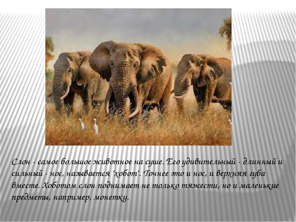 Слон - самое большое животное на суше. Его удивительный - длинный и сильный -...