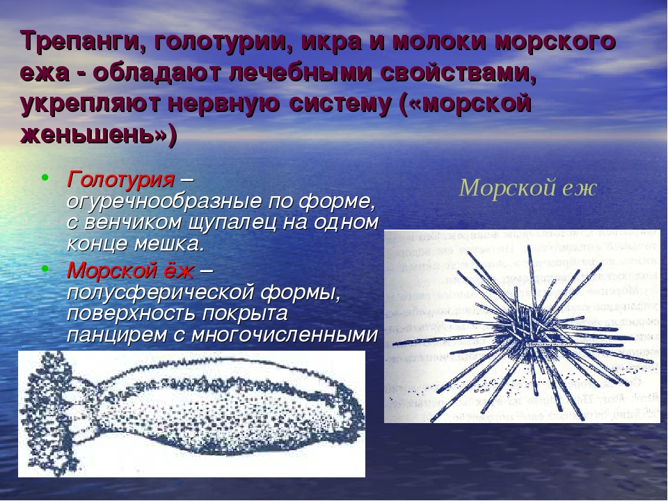 Трепанги, голотурии, икра и молоки морского ежа - обладают лечебными свойства...
