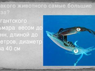 У какого животного самые большие глаза? У гигантского кальмара весом до 2 тон