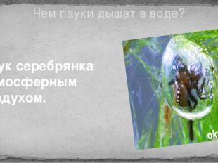 Чем пауки дышат в воде? Паук серебрянка -атмосферным воздухом.