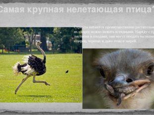 Самая крупная нелетающая птица? Страусы питаются преимущественно растительной