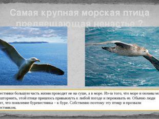 Самая крупная морская птица предвещающая ненастье ? Буревестники большую част