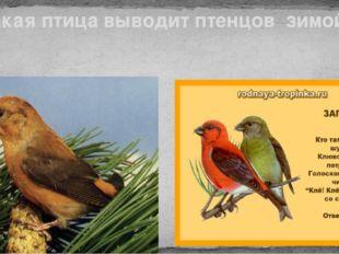 Клест Какая птица выводит птенцов зимой?