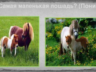 Самая маленькая лошадь? (Пони)