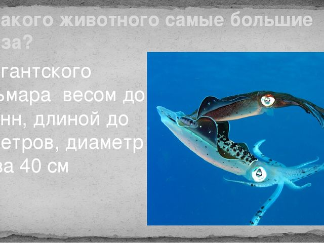 У какого животного самые большие глаза? У гигантского кальмара весом до 2 тон...