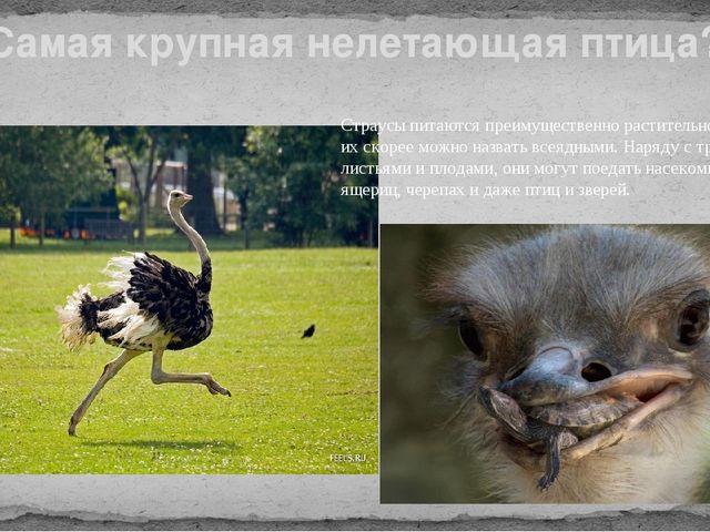 Самая крупная нелетающая птица? Страусы питаются преимущественно растительной...