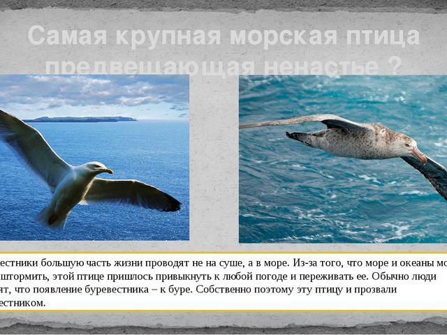 Самая крупная морская птица предвещающая ненастье ? Буревестники большую част...