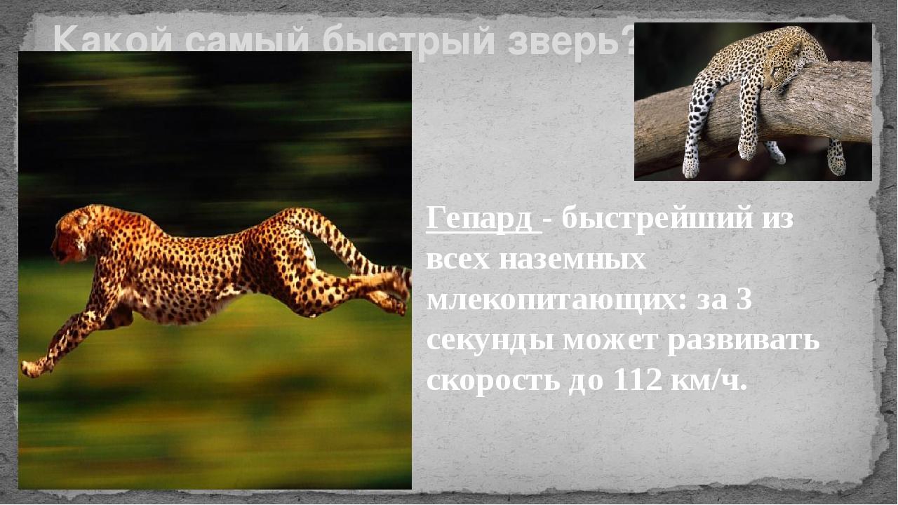 Какой самый быстрый зверь? Гепард - быстрейший из всех наземных млекопитающих...