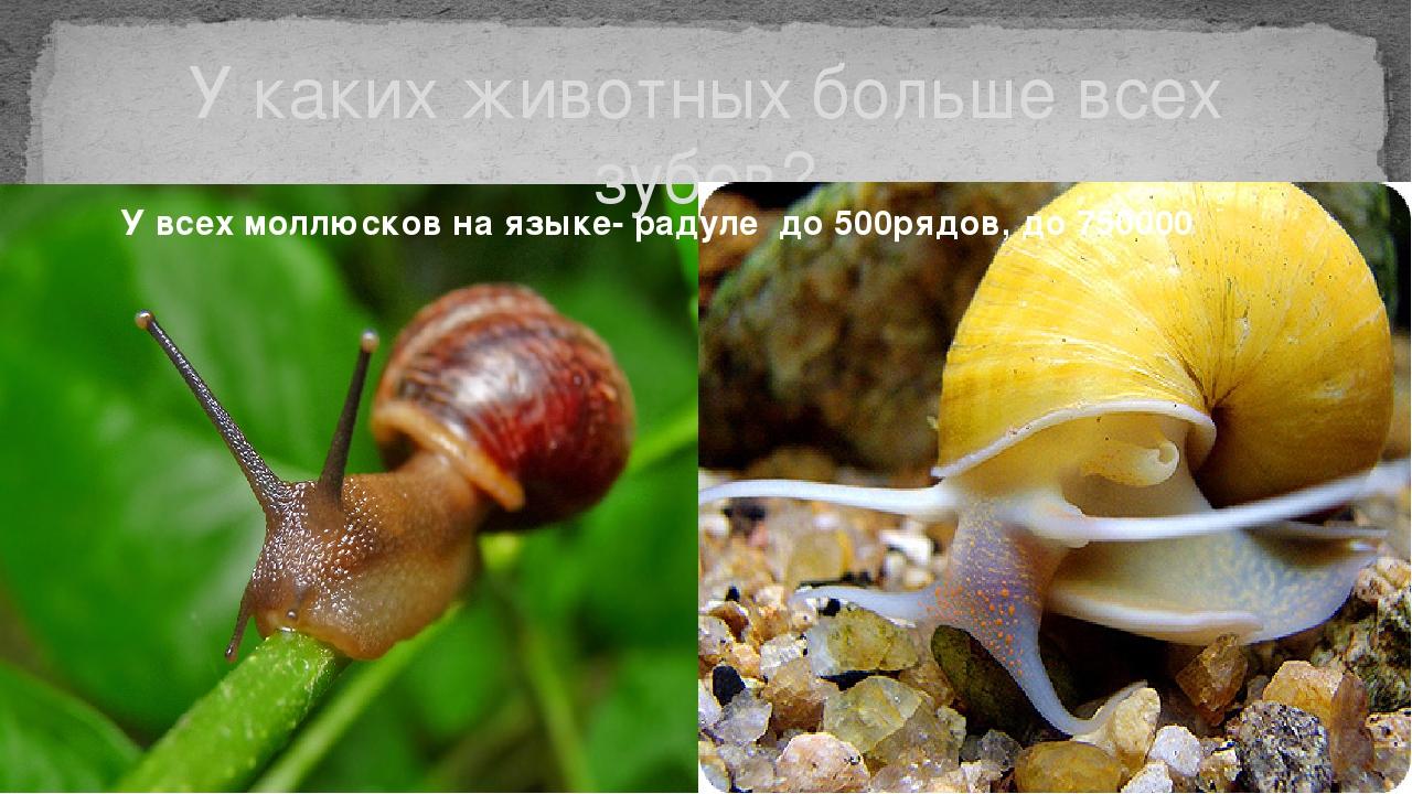 У каких животных больше всех зубов? У всех моллюсков на языке- радуле до 500р...