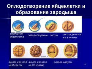 Оплодотворение яйцеклетки и образование зародыша свободная яйцеклетка оплодот