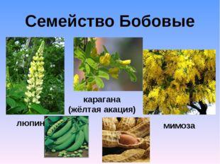 Семейство Бобовые люпин карагана (жёлтая акация) мимоза