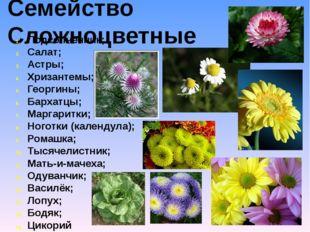 Семейство Сложноцветные Подсолнечник; Салат; Астры; Хризантемы; Георгины; Бар