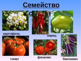 Семейство Пасленовые картофель физалис перец томат баклажан