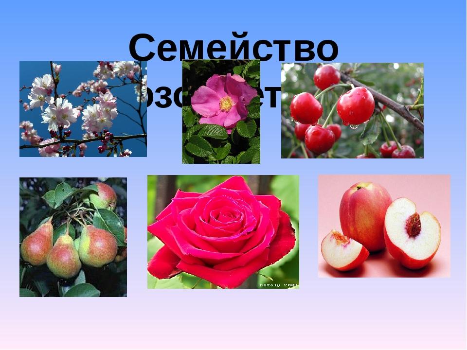Семейство Розоцветные