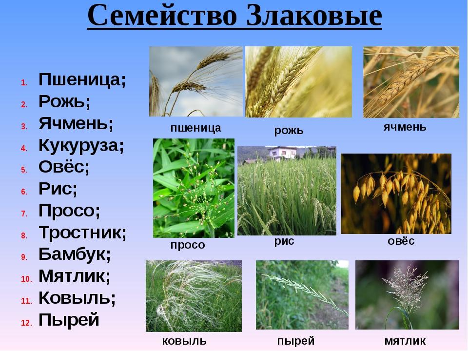Семейство Злаковые Пшеница; Рожь; Ячмень; Кукуруза; Овёс; Рис; Просо; Тростни...