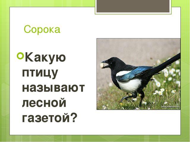 Сорока Какую птицу называют лесной газетой?