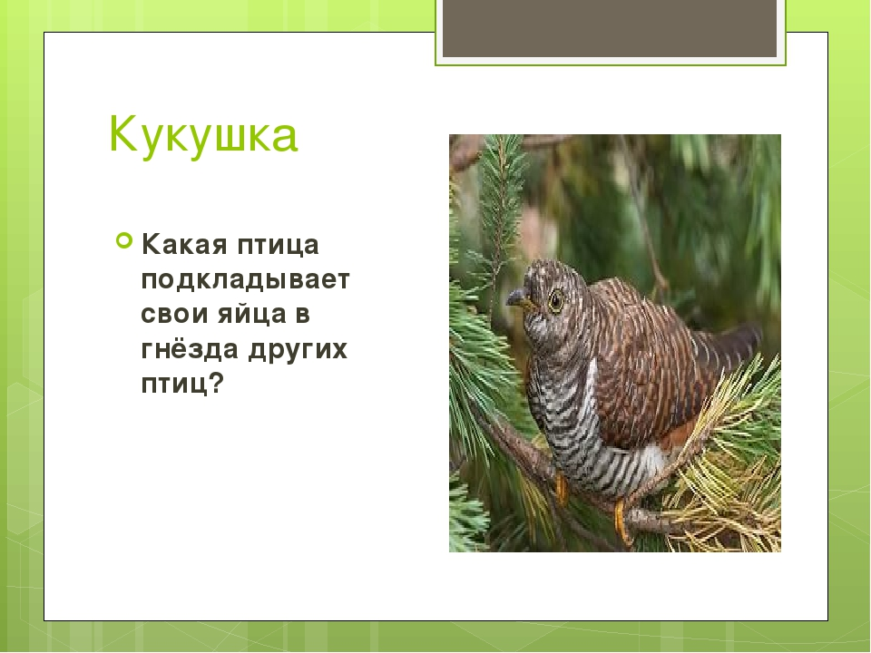 Кукушка Какая птица подкладывает свои яйца в гнёзда других птиц?