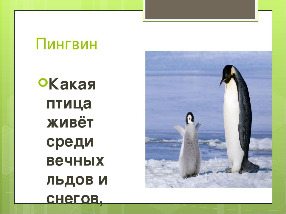 Пингвин Какая птица живёт среди вечных льдов и снегов, умеет хорошо плавать и...