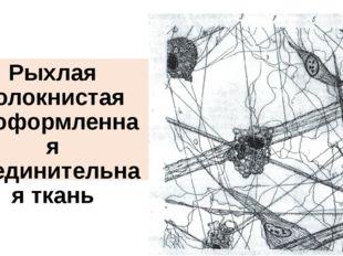 Рыхлая волокнистая неоформленная соединительная ткань