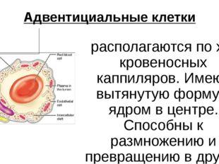 Адвентициальные клетки располагаются по ходу кровеносных каппиляров. Имеют в
