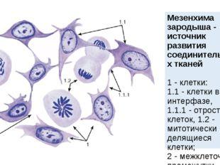 Мезенхима зародыша - источник развития соединительных тканей 1- клетки: 1.1