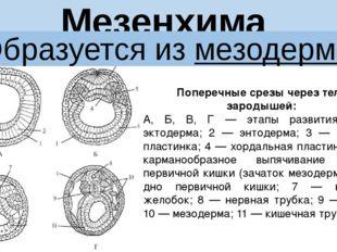 Мезенхима Образуется из мезодермы Поперечные срезы через тела зародышей: А, Б