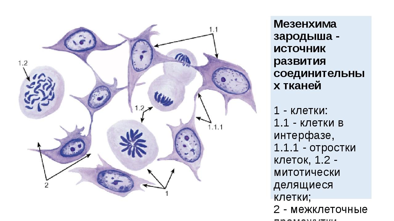 Мезенхима зародыша - источник развития соединительных тканей 1- клетки: 1.1...
