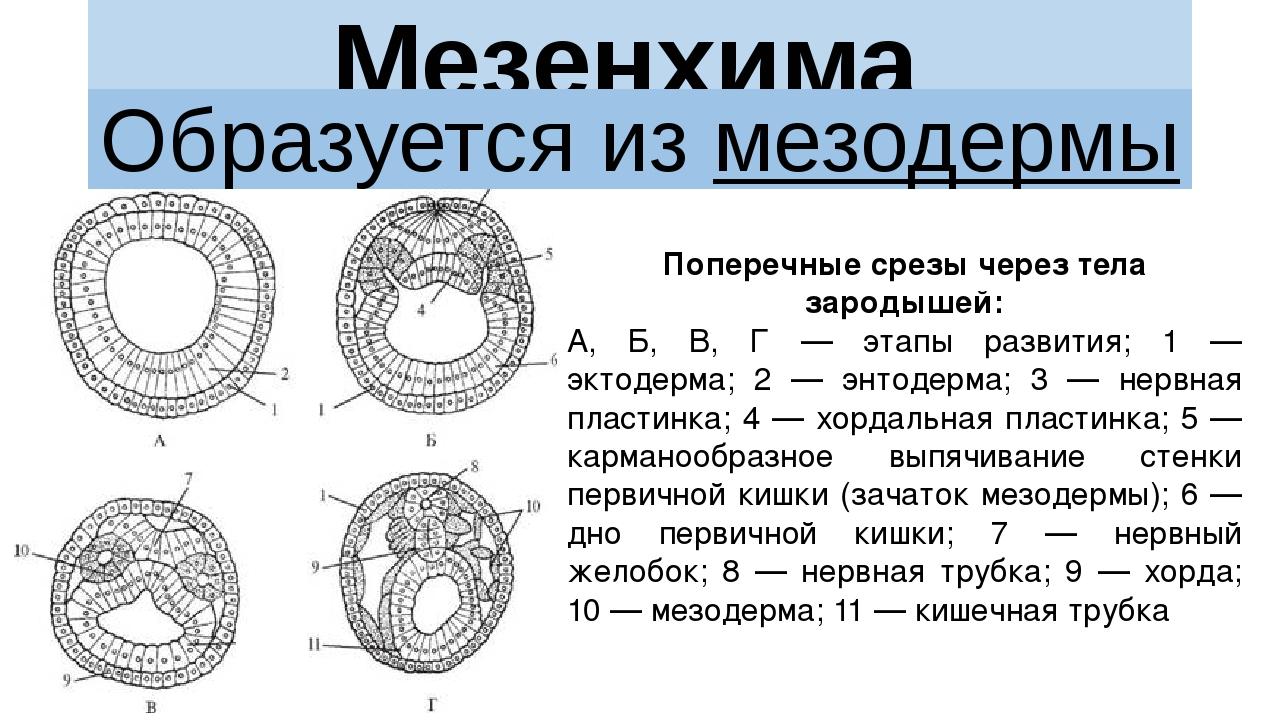 Мезенхима Образуется из мезодермы Поперечные срезы через тела зародышей: А, Б...