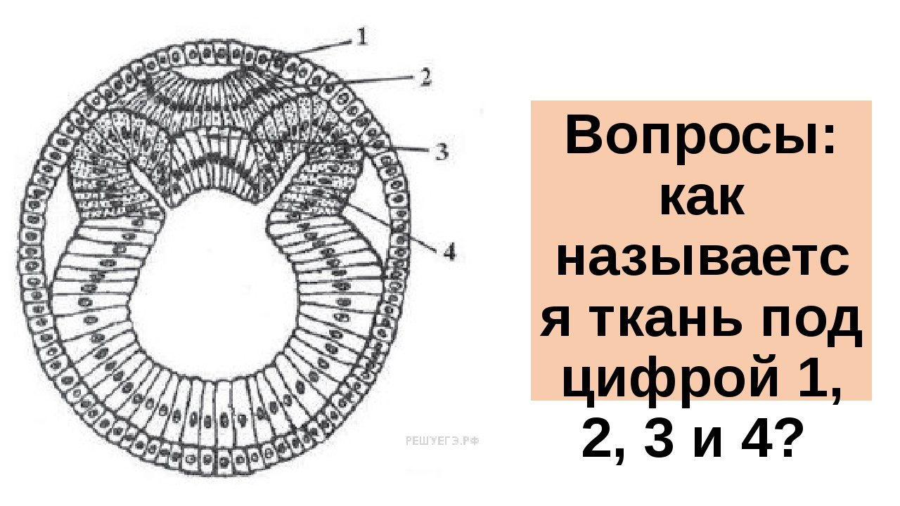 Вопросы: как называется ткань под цифрой 1, 2, 3 и 4?