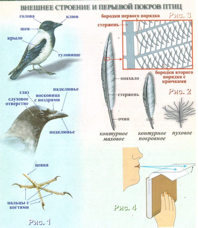 Линька птиц перелет теплые страны связаны