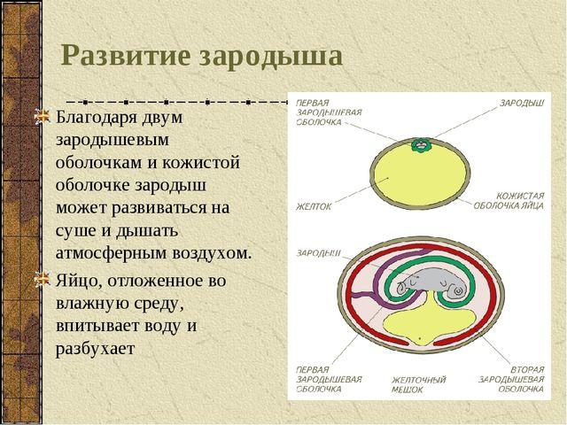 Развитие зародыша Благодаря двум зародышевым оболочкам и кожистой оболочке за...