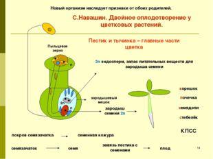 зародыш семени 2n корешок стебелёк семядоли почечка 3n эндосперм, запас питат