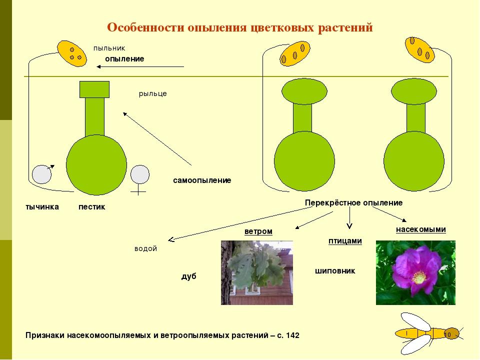 Особенности опыления цветковых растений пестик тычинка опыление пыльник рыльц...