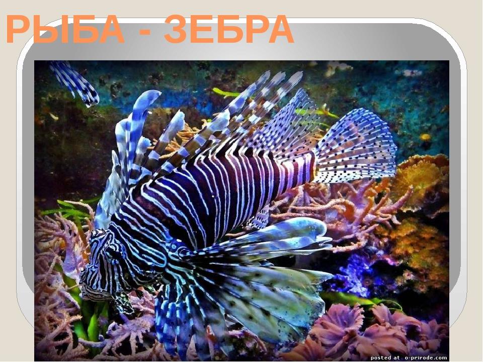 РЫБА - ЗЕБРА