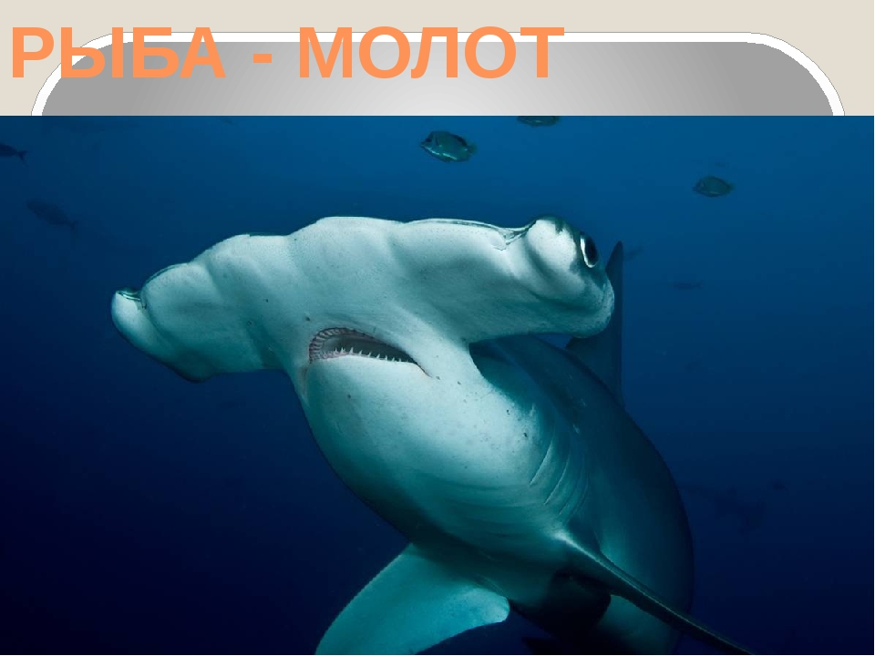 РЫБА - МОЛОТ