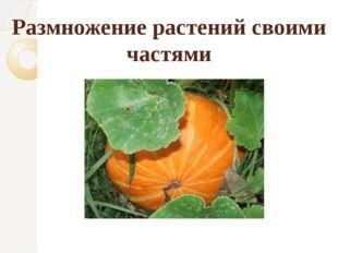 Размножение растений своими частями